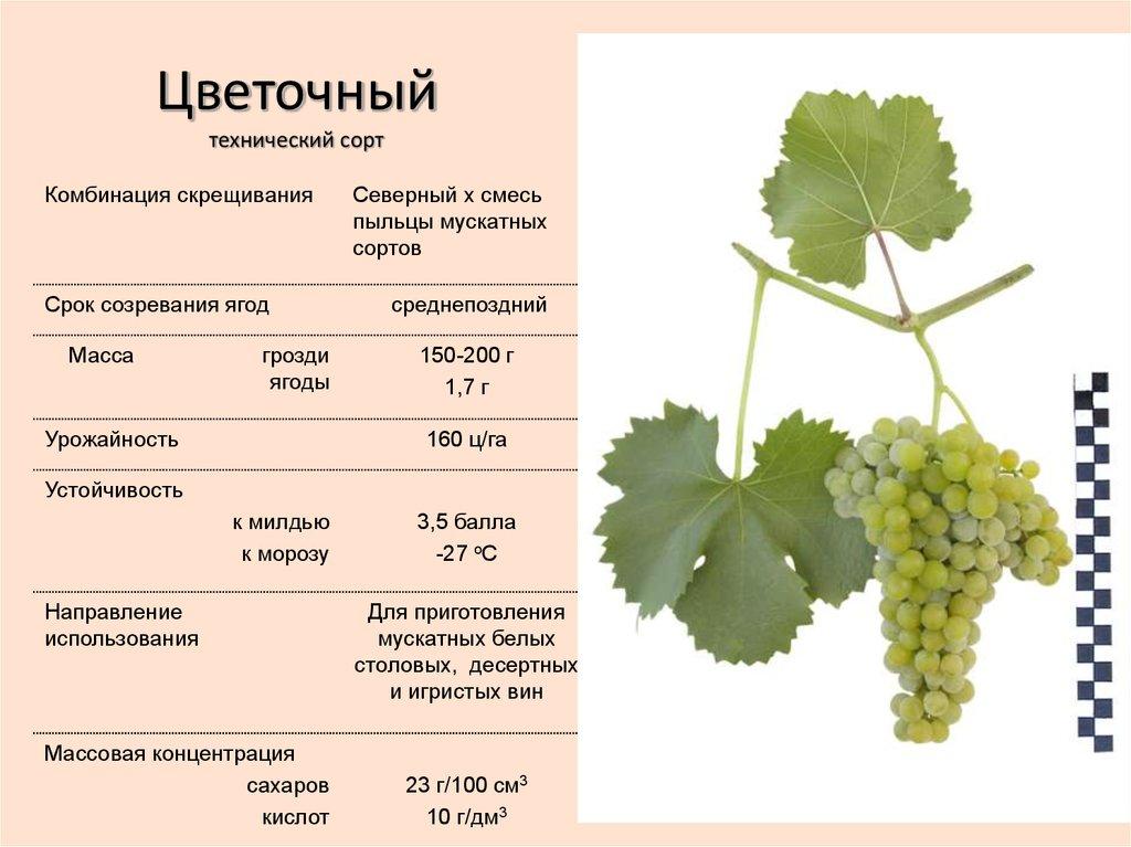 Описание сорта винограда красень с фото