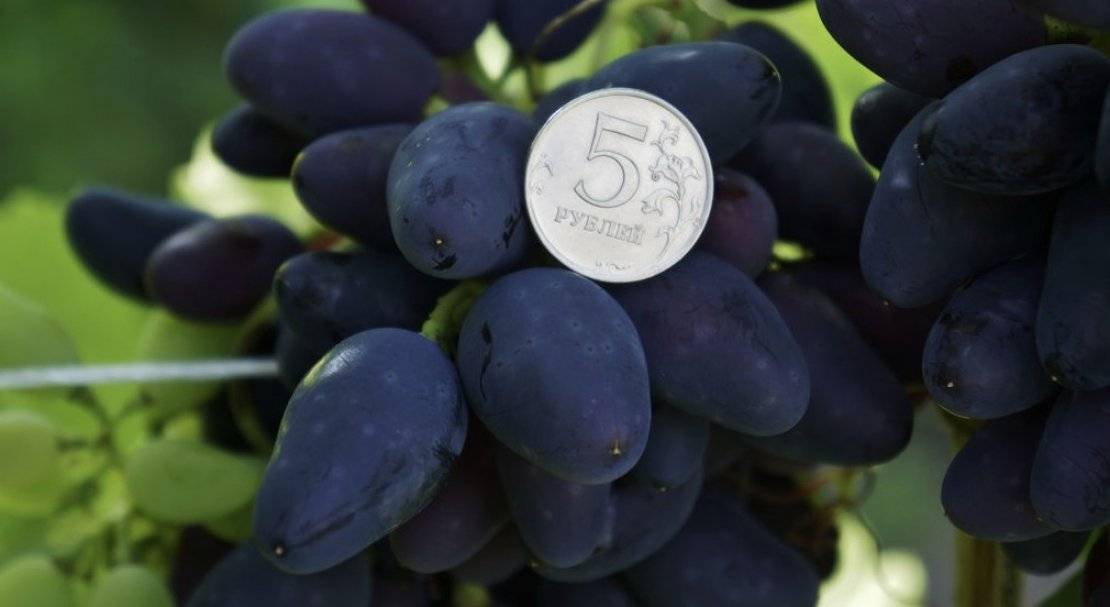 Каберне крупногроздный — сорт винограда