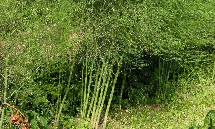Спаржа – выращивание рассады из семян, посадка в открытый грунт и уход