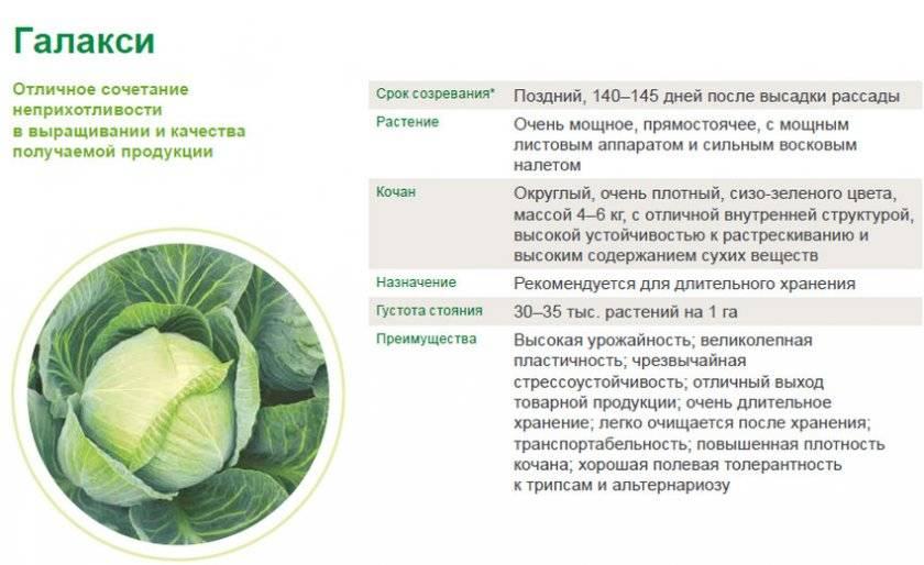 Голландская капуста: описание и характеристики сортов с фото