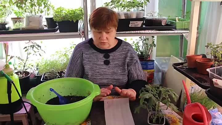 Посев томатов в улитку: пошаговая инструкция по посадки помидоров   видео