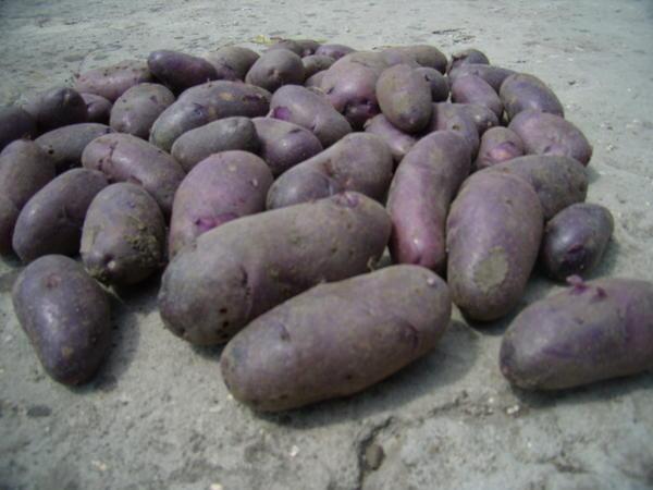 Сорта белого картофеля с белой мякотью: описание, характеристика и фото