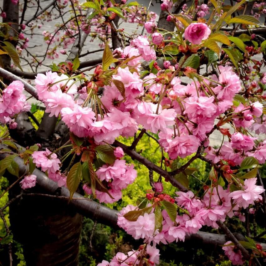 Какую сакуру выбрать для своего сада? виды и сорта. фото — ботаничка.ru