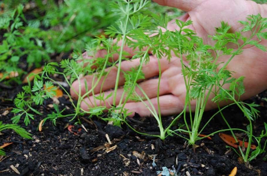 Как посадить морковь для быстрых всходов