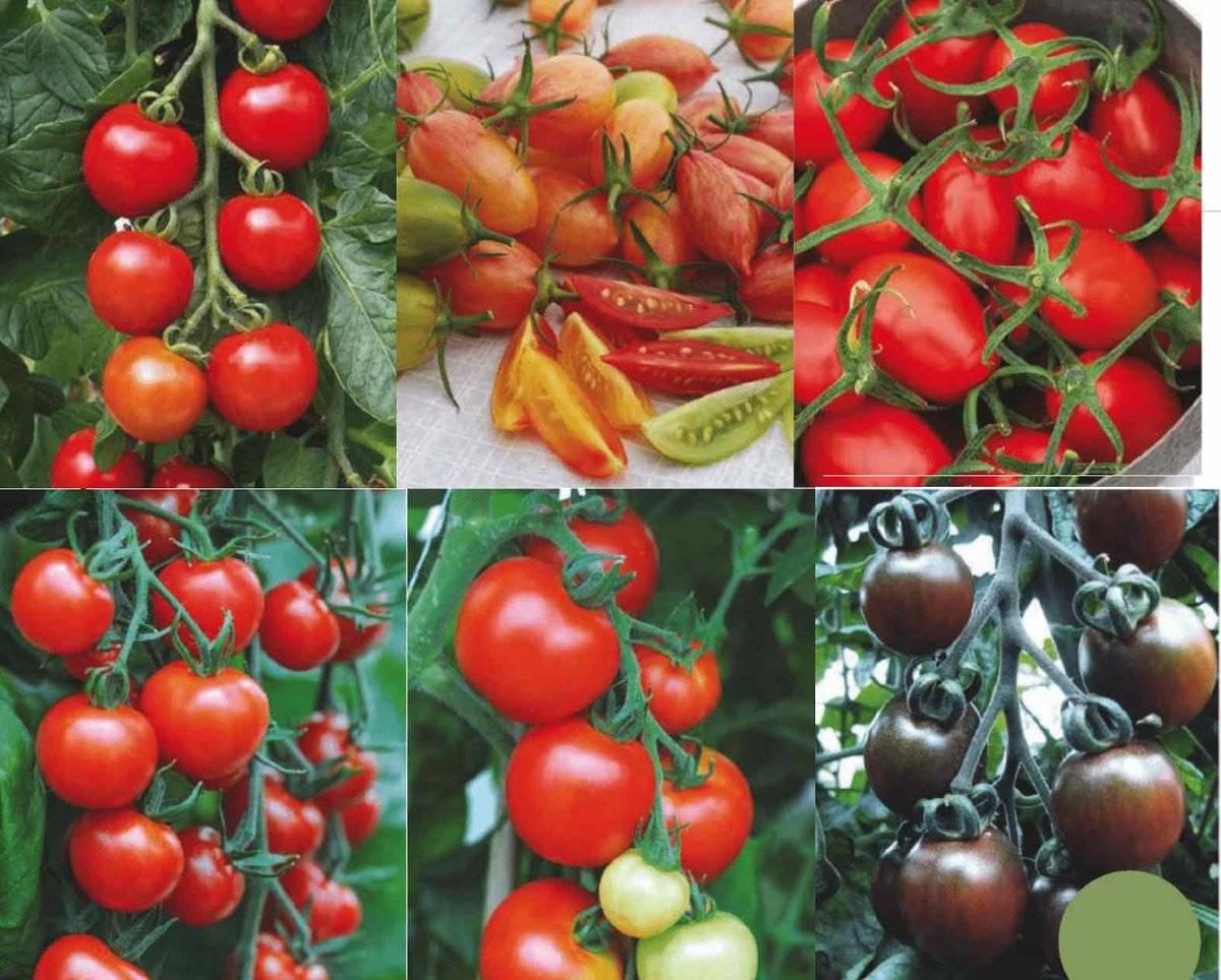 Низкорослые помидоры для теплиц > какие сорта самые урожайные