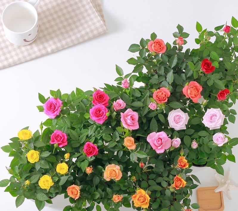 Роза кордана: уход в домашних условиях, правила посадки и выращивания