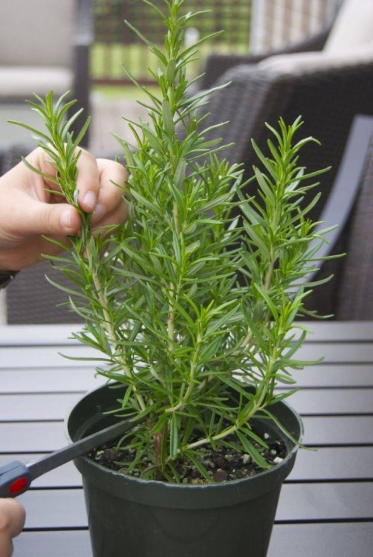 Комнатные растения - розмарин: выращивание и уход в домашних условиях