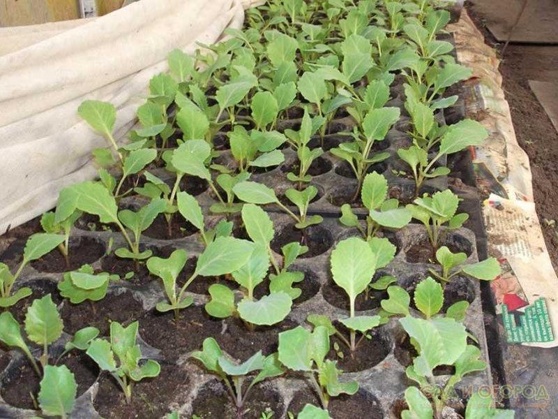 Когда сажать цветную капусту из семян на рассаду в 2021 году