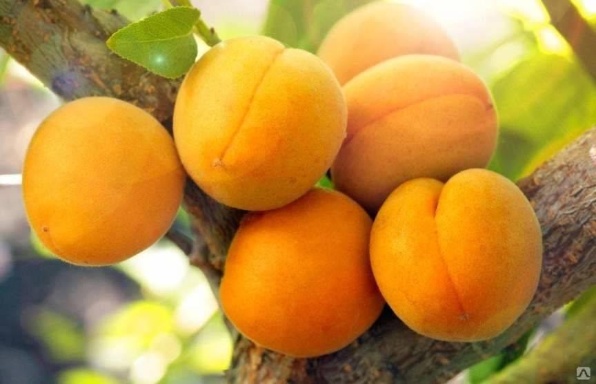 Лучшие ранние сорта абрикосов | lifestyle | селдон новости