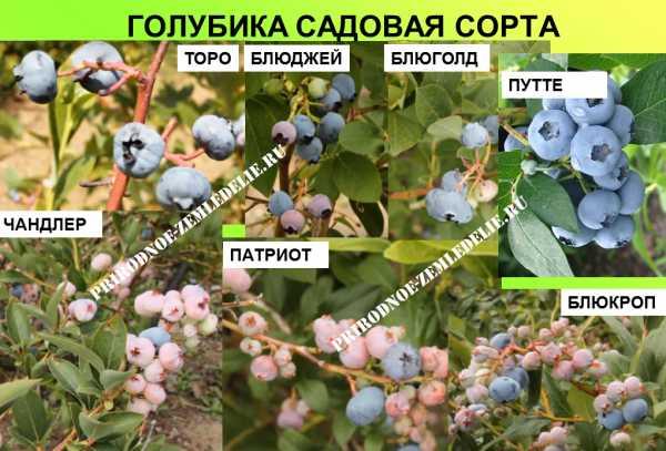 Обрезка голубики, в том числе весной, схема формирования растения, фото и видео