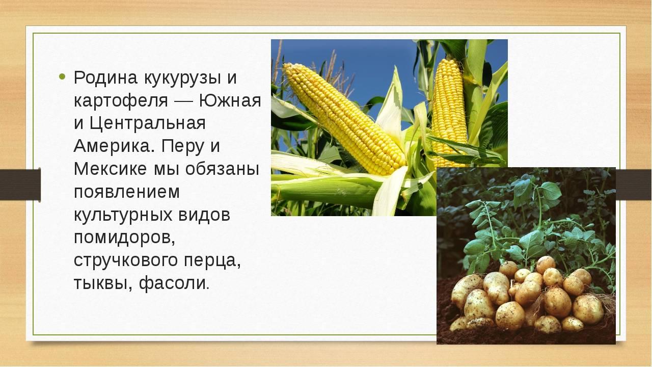 Кукуруза — это бобовые или нет?