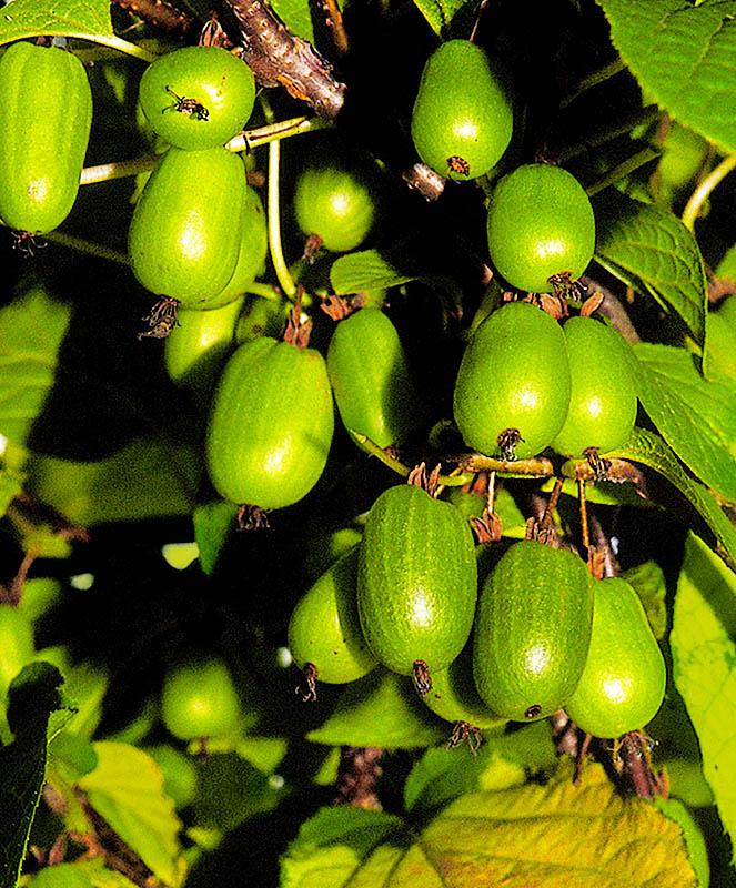 Актинидия аргута: описание и разновидности сорта, выращивание и уход с фото