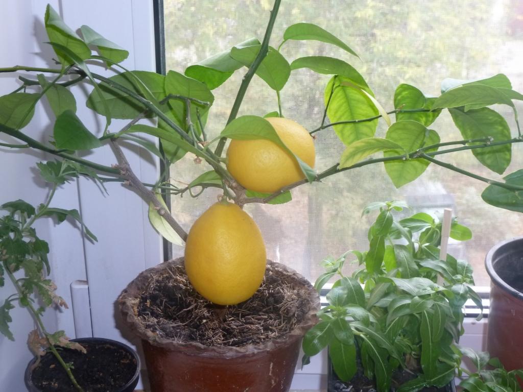 Домашний лимон в горшке: правила ухода, выращивание из косточки, прививание