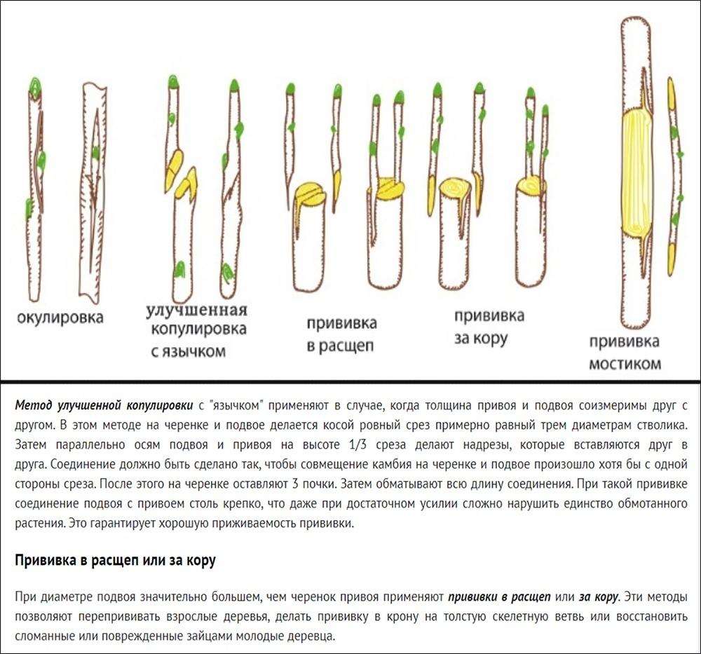 Помидофель (tomtato): фото, копулировка, правила высадки в грунт