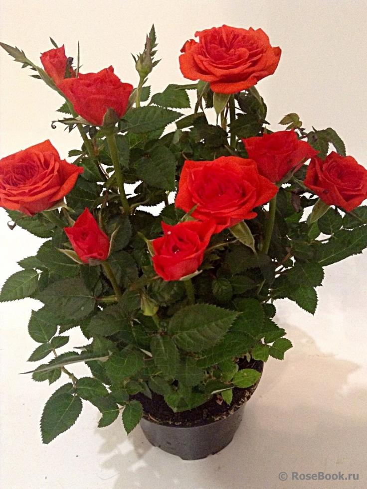 Роза кордана: описание сорта и разновидности, правила посадки и ухода