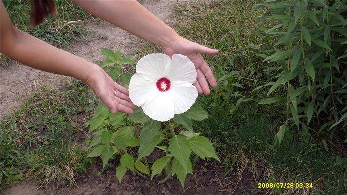 Садовый гибискус - фото, уход и размножение сортов