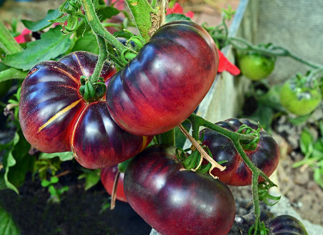Лучшие сорта помидор на 2021 год: самые урожайные и вкусные томаты для теплиц, открытого грунта
