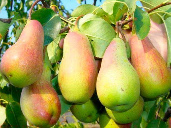 30 лучших сортов груш для подмосковья: самые вкусные и сладкие, ранние, осенние, зимние, летние, самоплодные, колоновидные, отзывы садоводов