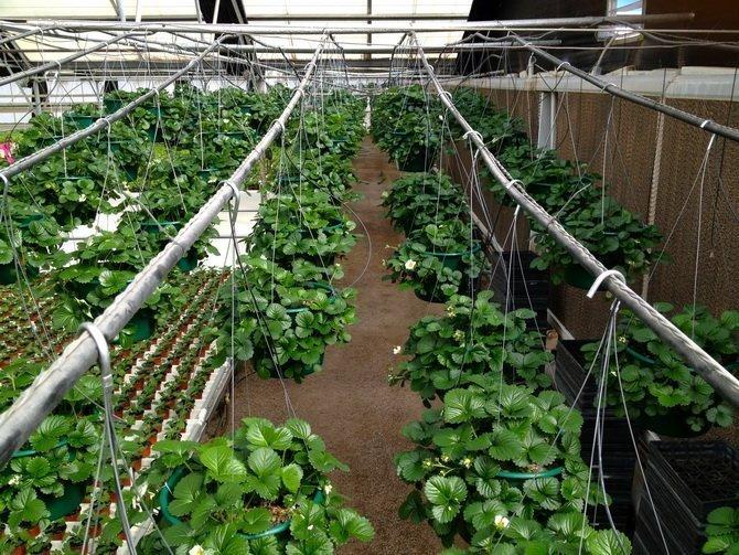 Как вырастить клубнику в теплице + парнике: рекомендации гуру