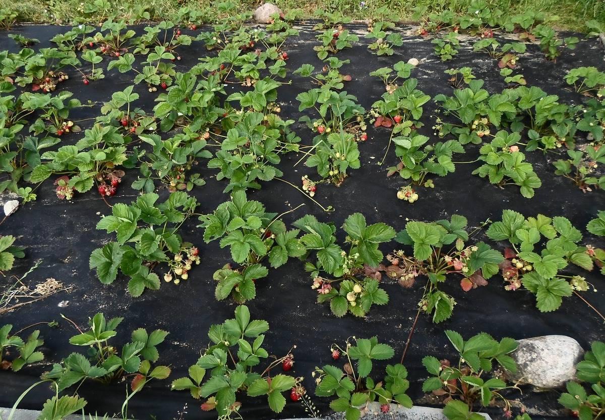 Как правильно посадить клубнику под чёрный спанбонд: фото и видео