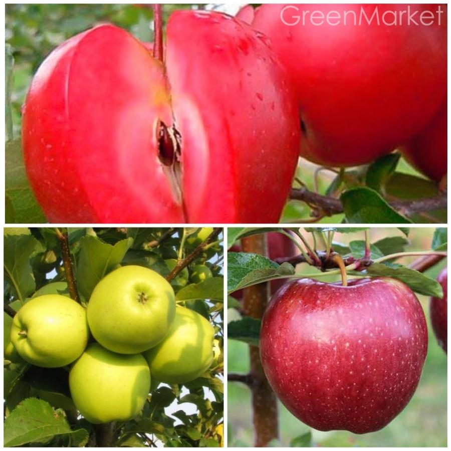 Яблоня сорта «ред чиф» — описание, фото, посадка, уход
