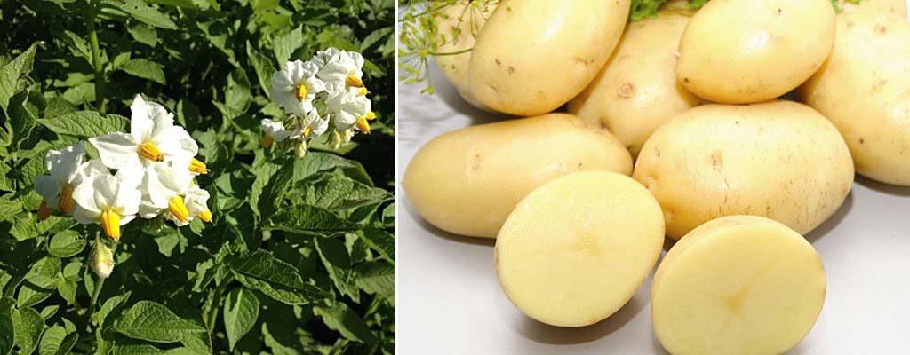Картофель импала: описание сорта, характеристики, фото