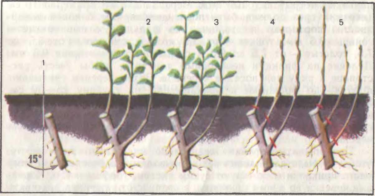 Как вырастить яблоню из веток: можно ли вообще это сделать и способы размножения