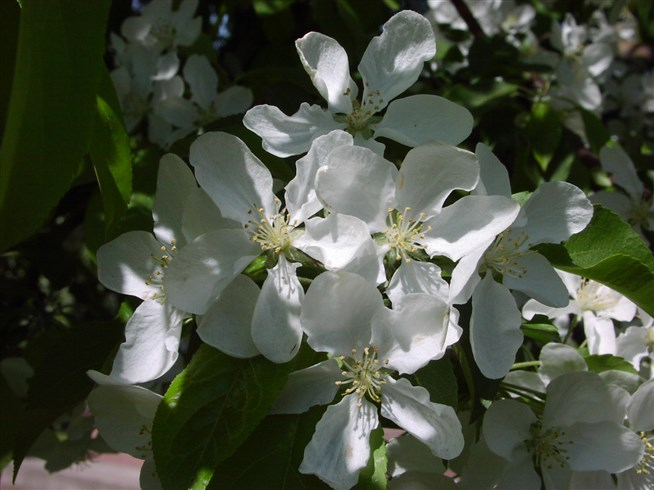 Яблоня ягодная: особенности сорта и ухода