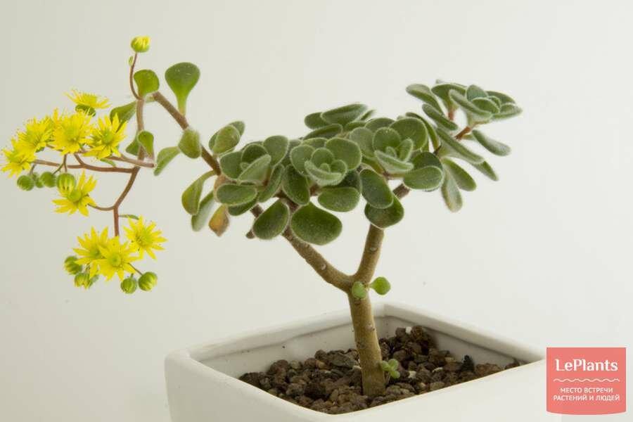Аихризон – дерево любви и счастья. разновидности с названием и фото. особенности ухода
