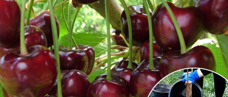 Описание и выращивание черешни сорта Ленинградская черная