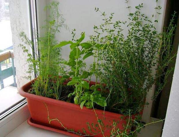 Тимьян: выращивание дома в горшке из семян и черенков в горшке на подоконнике
