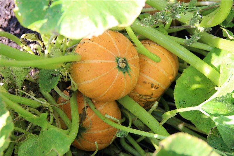 Лучшие сорта кустовой тыквы и особенности их выращивания
