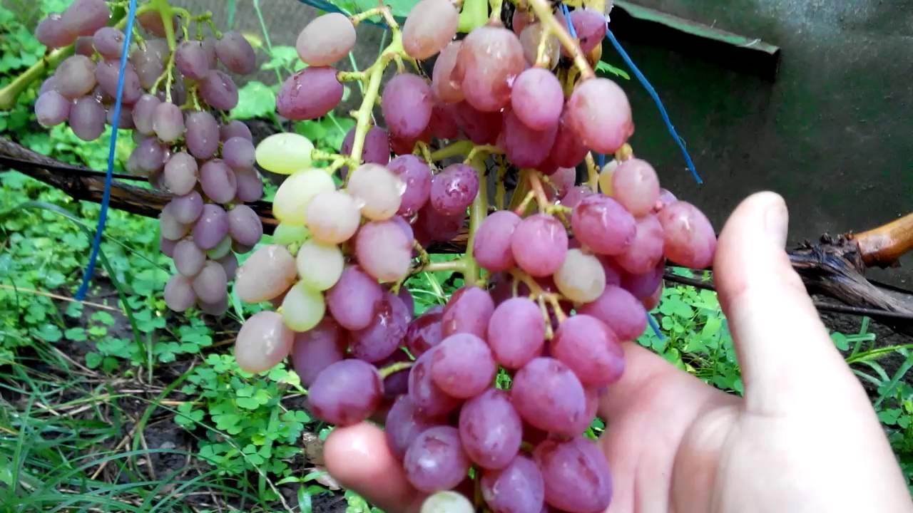 Виноград «кишмиш лучистый»: описание и характеристика сорта, особенности агротехники и ухода, фото