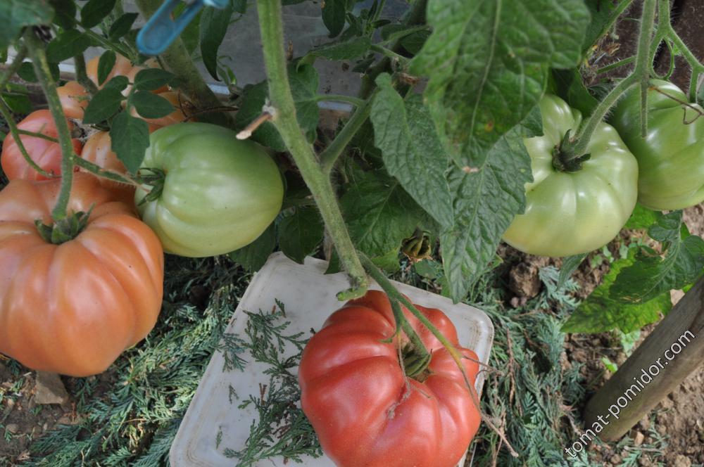 Томат дикая роза: характеристика и описание сорта, фото, отзывы, урожайность