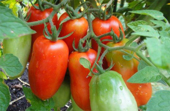 Томат елена f1: описание сорта, характеристика, фото русский фермер