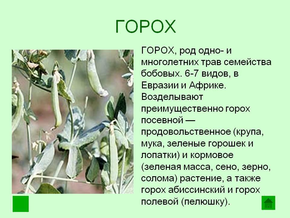 Как размножается и растет горох, технология выращивания и ухода в открытом грунте