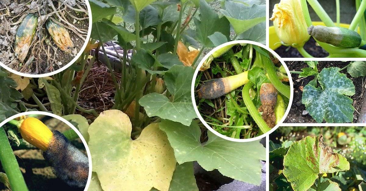 Выращивание кабачков, сорта, когда и как садить, борьба с болезнями