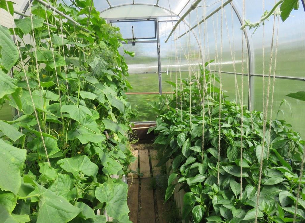 Что посадить вместе с огурцами в теплице или открытом грунте : капуста, тыква, картофель, дыня, арбуз, укроп