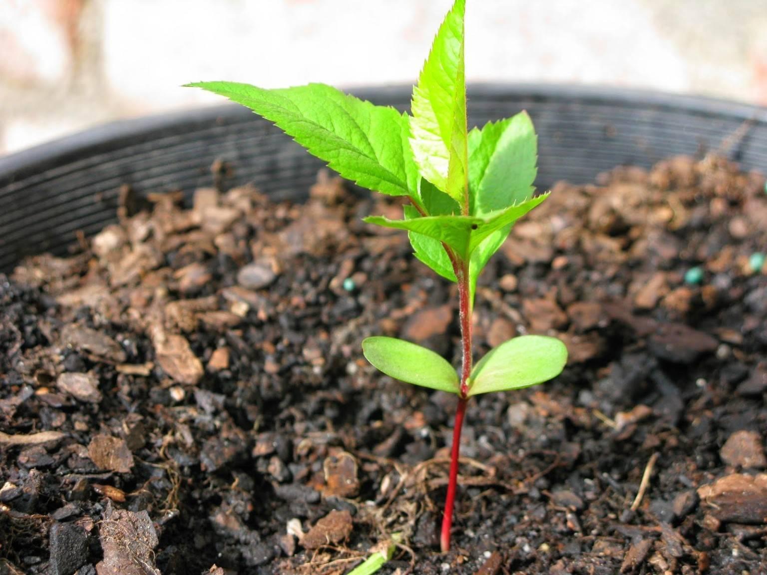 Как посадить косточку абрикоса на даче: правила уход и выращивания дерева