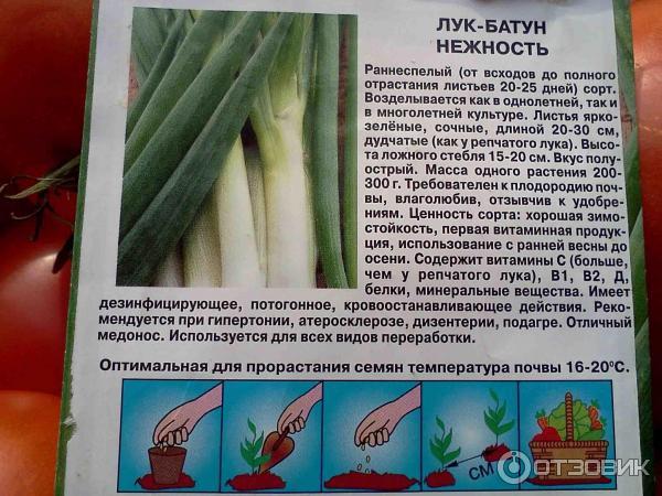 Лук батун: описание сортов, посадка, выращивание и уход в открытом грунте с фото