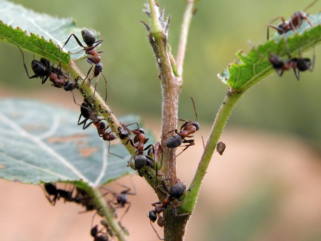 Как избавиться от муравьев: самые эффективные способы: новости, сад, насекомые, советы, сад и огород