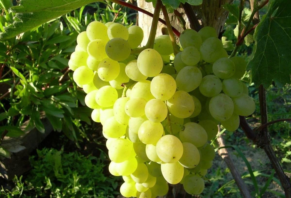 Виноград русбол: описание и характеристики сорта, разновидности, размножение и уход