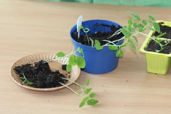 Выращивание через рассаду физалиса съедобного (овощного и земляничного): посадка и уход
