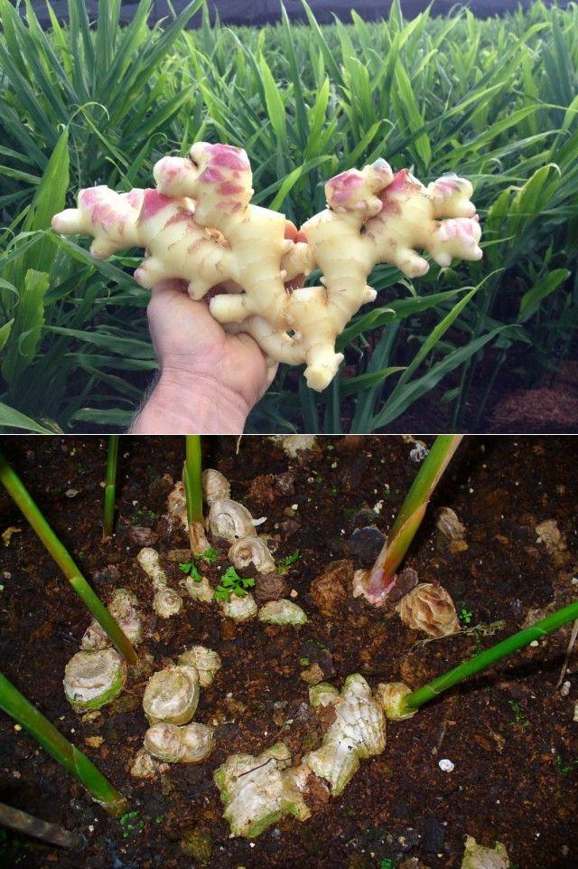 Как вырастить имбирь на даче в открытом грунте и когда собирать урожай