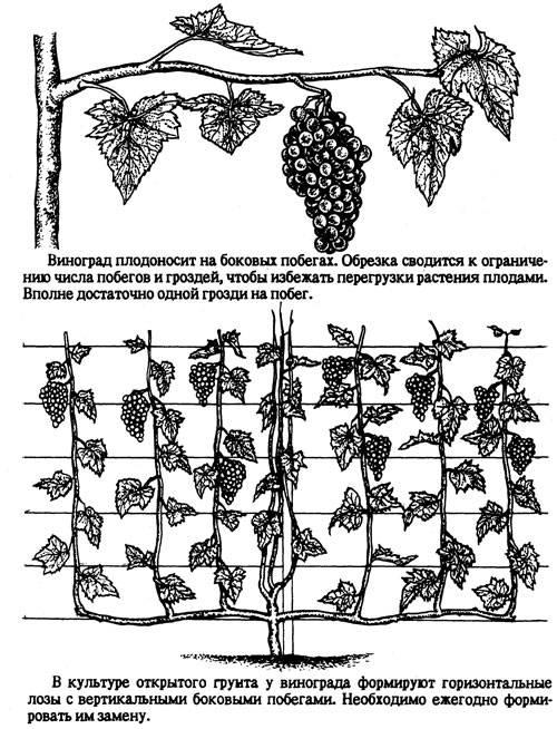 Виноград софия: описание сорта, правила выращивания