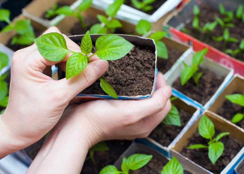 Как сажать базилик в открытый грунт семенами и рассадой