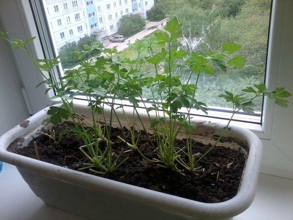 Как вырастить кинзу на подоконнике, советы по посадке и уходу за растением в домашних условиях