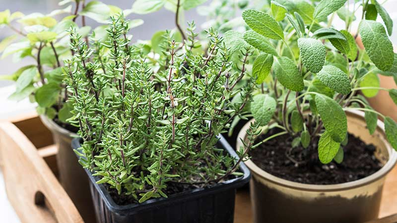 Тимьян на подоконнике - выращивание и уход в домашних условиях