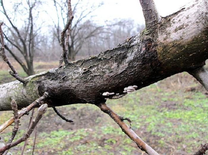 Черный рак на яблоне: лечение и фото