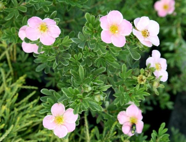 Лапчатка: выращивание и уход, посадка и размножение, свойства, фото
